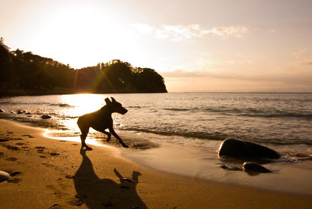 夕日の黄金崎で走るドーベルマン・サラ