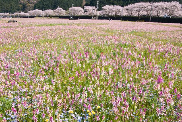 静岡県松崎町「田んぼをつかった花畑」