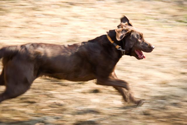 犬の流し撮り 1/90秒