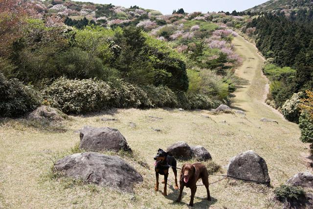 金冠山のマメザクラ