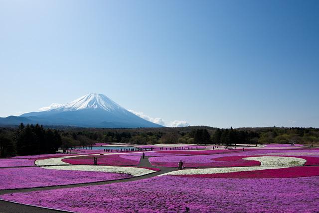 富士芝桜祭り 展望台から