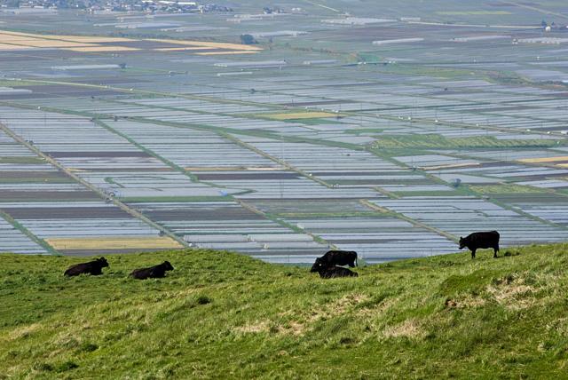 牛の放牧と水田