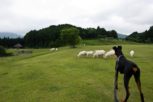 ヤギを見つめるサラ