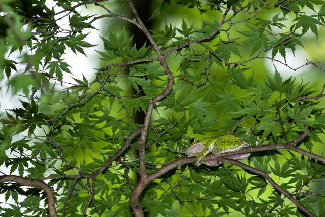 木の上でメスを待っているモリアオガエル・オス