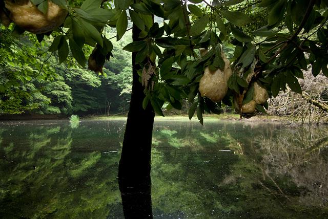 モリアオガエルの卵とシラヌタの池