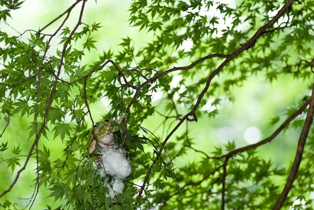 モリアオガエルの産卵