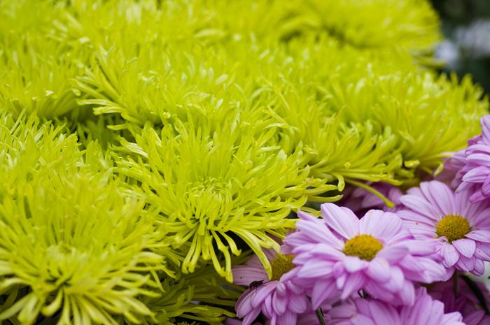楽寿園の菊まつり